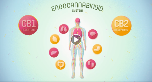 endocannabinoidendocavideo